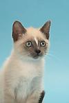 Snowshoe Kitten - 9 weeks old