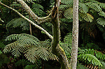 Forest detail showing tree ferns and tree trunk, Kelimutu National Park, Flores, Indonesia