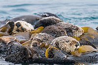 """Southern Sea Otters (Enhydra lutris nereis) wrapped in kelp.  Central California Coast.  Being wrapped in kelp helps keep the otters from drifting away with the tide/current/wind while resting.  A resting group of sea otters is called a """"raft."""""""