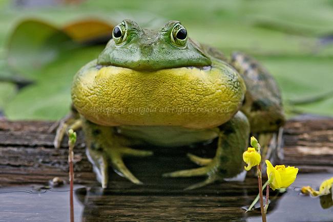 кваканье лягушек: