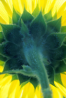Sunflower seen from inside below and behind