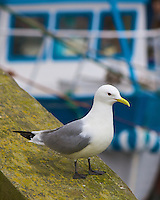 Kittiwake, Dunmore East