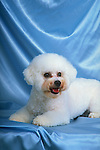 Bichon Frise<br /> <br /> <br /> <br /> <br /> <br /> Shopping cart has 3 Tabs:<br /> <br /> 1) Rights-Managed downloads for Commercial Use<br /> <br /> 2) Print sizes from wallet to 20x30<br /> <br /> 3) Merchandise items like T-shirts and refrigerator magnets Shopping cart has 3 Tabs:<br /> <br /> 1) Rights-Managed downloads for Commercial Use<br /> <br /> 2) Print sizes from wallet to 20x30<br /> <br /> 3) Merchandise items like T-shirts and refrigerator magnets