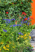 Heirloom and old-fashioned flowering plants, mix of annuals and perennials: Tropaeolum nasturtiums, Crocosmia, Lavandula angustifolia lavender herb, Coreopsis, Fagus hedge, Alchemilla flowers, blue Salvia, Kniphofia, patio, stone wall, mixture of annuals, perenialls, ornamental grass, herbs, shrubs, summer flowering bulbs, wide variety of plants types