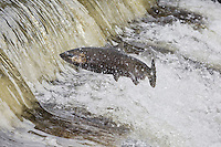 RP0521-D. Chinook Salmon (Oncorhynchus tshawytscha) swimming upstream to spawn, here one is jumping out of river to clear small rapids. Washington, USA.<br /> Photo Copyright &copy; Brandon Cole. All rights reserved worldwide.  www.brandoncole.com