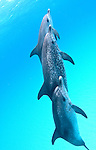 Atlantic spotted dolphins, swim with wild dolphins, Bahamas