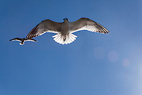 A sea gull floats by, its wings glowing with winter sunshine from above, at San Lorenzo Park's duck pond