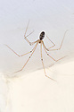 Cellar Spider / Daddy Longlegs {Pholcus phalangioides}  in the corner of a bathroom. Derbyshire, UK. August.