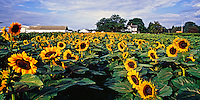 Sunflowers, New York, Riverhead, Roanoke Farm, page 84-85.Between Sea and Sky Landscapes of Long Island's North Fork