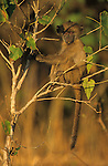 Young chacma baboon, Papio cynocephalus ursinus, in tree, Kruger National Park, Mpumalanga, South Africa