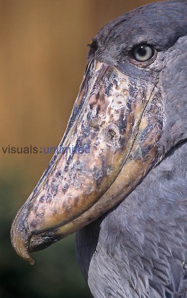 Head of the Whale-headed Stork ,Balaeniceps rex,, Uganda, Africa.