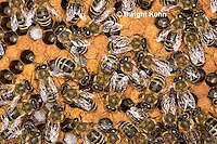 1B14-501z  Honeybee Hive with Workers, open cells containing larvae, sealed worker cells, Apis Mellifera, Race Carniolans