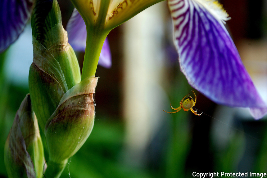 Spider hanging off iris.