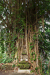Ubud, Bali, Indonesia; a large ficus tree near the parking lot with views of the Tjampuhan Temple on an overcast early morning
