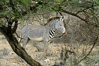 Samburu National Reserve the best place in Kenya to see the endangered Grevy's zebras. 1,100 of the world's population of 2,500 live here. Their stripes are much narrower than the common Grant's zebra's.