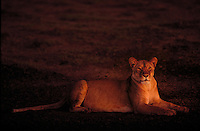 A lioness at dawn in the Serengeti National Park in Tanzania