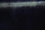 Mother duck with ducklings sunrise in fog Lake Mason Olympic Penninsula Washington State USA