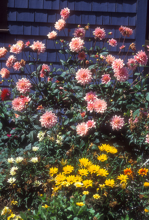 Pink dahlias, gazania, against blue house in late summer flower garden, early fall