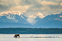 Brown bear walks along the shore of Naknek lake, Katmai National Park, Alaska.