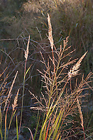 139000002 yellow indian grass sorghastrum nutans and switchgrass panicum virgatum native grasses on the laurels ranch owned by dave and myrna langford in the hill country of central texas united states