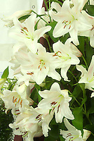 Lilium lily white, pink flushed lily