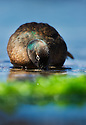 Auckland Teal (Anas aucklandica), endemic to Auckland Islands south of New Zealand.