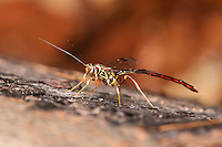 A male Giant Ichneumon Wasp (Megarhyssa macrurus) searches for females developing inside a log on the larvae of Pigeon Horntail (Tremex columba).  Once found, the male will attempt to inseminate the female prior to her emergence or mate with her shortly thereafter.