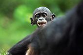 Bonobo baby aged 9-12 months peering over its mother's back (Pan paniscus), Lola Ya Bonobo Sanctuary, Democratic Republic of Congo.