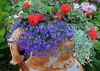 Vashon-Maury Island, WA<br /> Driscoll garden, decorative urn planted with blue lobelia &amp; red roses with hydrangeas in the background