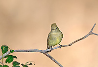 530040002 a wild cordilleran flycatcher empidonax occidentalis perches on a dead branch on mount lemmon near tucson arizona united states
