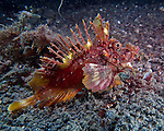 A spiny devil fish (a species of scorpionfish or lion fish) waits for passing prey on the bottom of the Lembeh Strait (North Sulawesi, Indonesia).
