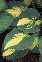 Hosta 'Reversed' leaves with gold yellow center and wide green margins