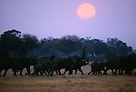 African elephant herd at sunset, Okavango Delta, Botswana