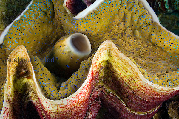 Indo-Pacific Sergeant Major Damselfish (Abudefduf vaigiensis)egg mass in the shell of a Giant Clam (Tridacna gigas), Fiji.