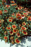 Plant habit & flowers of Gaillardia Bijou dwarf blanket flower