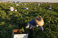 Day laborers pick beans in a field in Fresno,CA.  3 years of drought have impacted agriculture so badly, that workers must arrive at 5am if they hope to get a day's job picking for $5 per box.