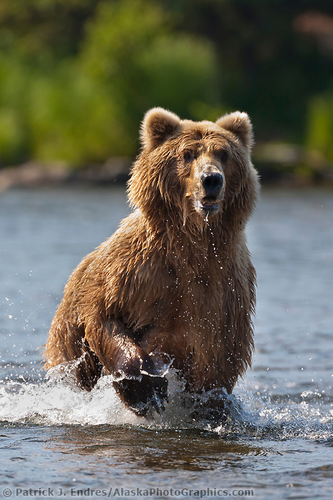Brown bear sow fishing for salmon in the Brooks  river, Katmai National Park, southwest, Alaska.