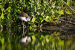 A black-necked stilt chick wades through shallow water looking for food