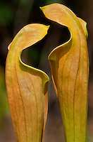 168550004 wild pitcher plants sarracennia alata face off in peason ridge wildlife management area kisatchie national forest natchitoches parish louisiana united states.