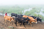 Herding cattle along a misty floodplain, Limpopo floodplain, Maputo Province, Mozambique