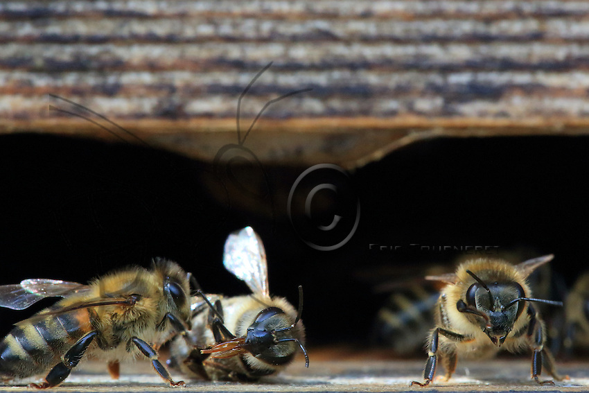 On the flight board, the dead bee is taken out of the hive by its sister. ///Sur la planche d'envol, une abeille morte est sortie de la ruche par sa sœur.