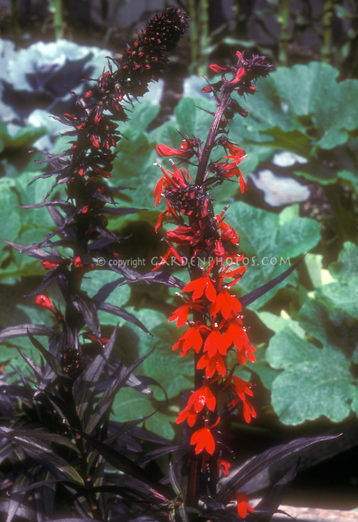 Cardinal Flower Lobelia cardinalis 'Queen Victoria', native American wildflower, showing dark foliage and red flowers