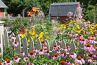 Lush perennial flower garden with daylilies Hemerocallis, Echinacea, Heliopsis, Veronicastrum Fascination, barn, shed, picket fence, sunny summer day in July, full of blooms, classic garden scene full of easy beautiful flowering plants for the backyard sun