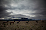 Former Montana Governor Brian Schweitzer's horses gallop past on one of his ranches near Ovando, Montana, May 7, 2014.<br /> CREDIT: Max Whittaker/Prime for The Wall Street Journal<br /> BRIAN