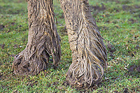 Mud covered horse's hooves, Gloucestershire, United Kingdom. In winter horses risk mud fever.