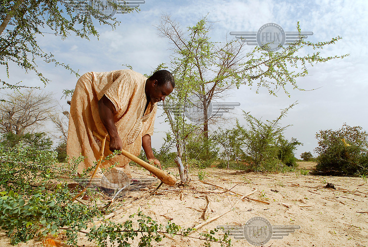 Sale Tari tends his Acacia trees using a natural regeneration technique. As well as providing a regenerative supply of firewood, the trees act as windbreaks to prevent wind erosion and stabilise the dry land in the sub-Saharan Sahel region.