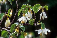 Styrax officinalis var. redivivus (California Snowdrop Bush) flowering California shrub,