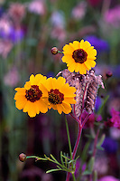 Group of Coreopsis tinctoria flowers in summer meadow at Van Dusen Botanical Gardens, Vancouver, BC
