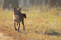Dhole in Kanha National Park, India