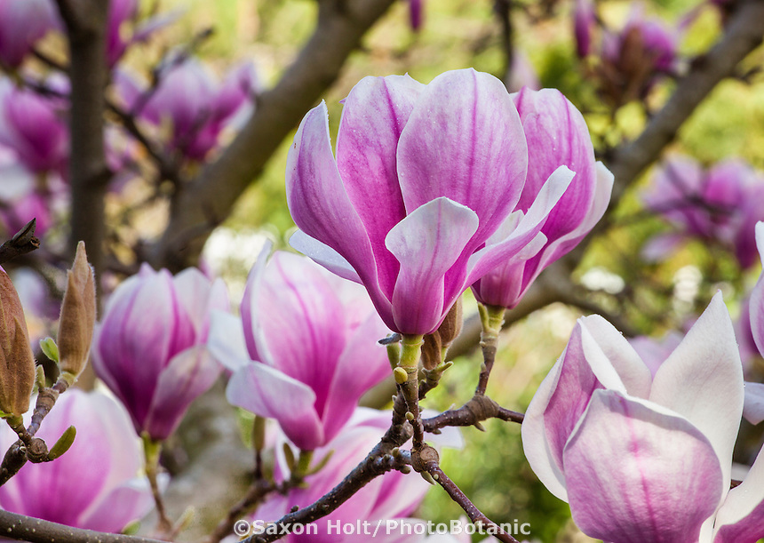 Spring flowering tulip tree, deciduous Magnolia soulangiana  in California garden